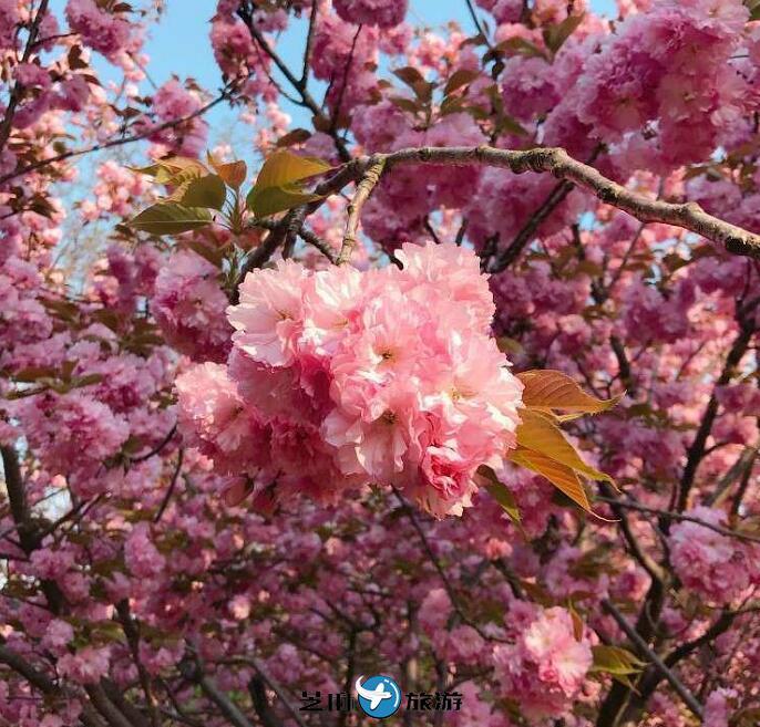 韩国全州樱花节包车 韩国全州樱花村包车一日游