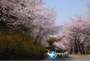 首尔到釜山镇海军港节樱花两天游包车服务