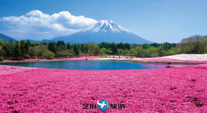 富士山芝樱季・五合目・草莓吃到饱 东京赏樱一日游包车服务