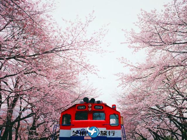 韩国 迎接春天,踏上樱花之旅:韩国樱花之都「镇海」