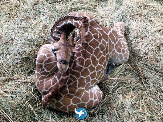 后背当枕头脖子绕个圈 日本长颈鹿宝宝睡姿大胆