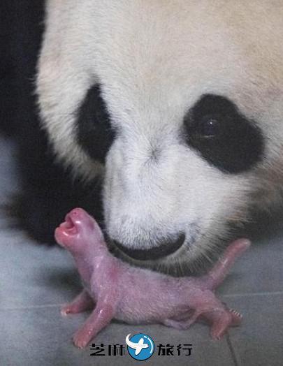 韩国SBS电视台将公开首只在韩国出生熊猫诞生过程